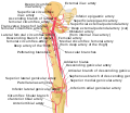 Thigh arteries schema.svg