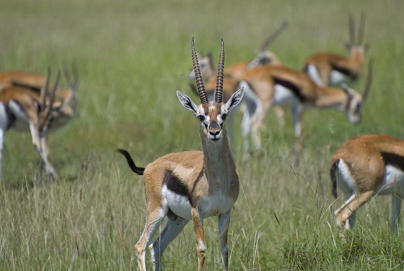 http://upload.wikimedia.org/wikipedia/commons/thumb/c/cd/Thompson%27s_gazelles%2C_Masai_Mara%2C_Kenya.jpg/800px-Thompson%27s_gazelles%2C_Masai_Mara%2C_Kenya.jpg