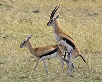 Male gazelle mounting a female Thomson's gazelle (Eudorcas thomsoni).jpg