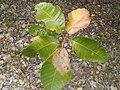 Thouinia portoricensis.JPG