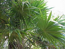 Thrinax radiata0.jpg