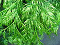 Thuja plicata 'Zebrina' leaves 01 by Line1.jpg