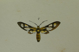 <i>Thyrassia</i> Genus of moths