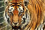 Tiger - Shepreth Wildlife Park (25611000651).jpg