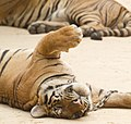 Tiger Temple (6032440830).jpg