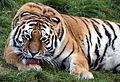 Tiger colchester.jpg