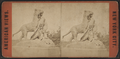 Tigress and Cubs, Central Park, N.Y, from Robert N. Dennis collection of stereoscopic views 2.png
