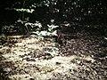 Tikal Coatimundi (9791147285).jpg