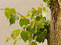 Tilia cordata - leaves.jpg