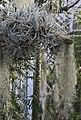 Tillandsia meridionalis, Jardín Botánico de Múnich, Alemania, 2013-01-27, DD 03.JPG
