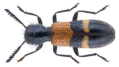 Tilloidea unifasciata (Fabricius, 1787).png
