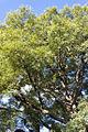 Tipa Blanca centenaria de parque chacabuco.jpg
