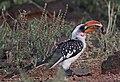 Tockus jacksoni -Kenya -male-8.jpg