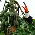 Toco Toucan (Ramphastos toco) eating papaya ... (28491142805).jpg