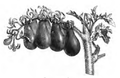 Tomate poire Vilmorin-Andrieux 1883.png