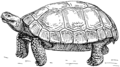 Tortoise (PSF).png