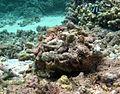 Toxopneustes pileolus camouflage.jpg