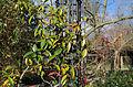 Trachelospermum jasminoides en hiver.jpg