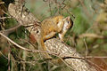 Tree Squirrel (Paraxerus cepapi) (16482188822).jpg