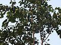 Tree arasu.JPG