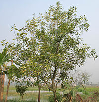Tree in Kolkata W IMG 4582