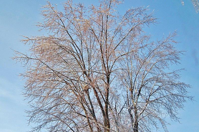 File:Tree on a blue sky after the ice storm. - L'arbre couvert de glace après le verglas - panoramio.jpg
