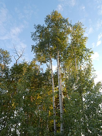 Populus - Mature trembling aspen trees (Populus tremuloides) with young regeneration in foreground. Picture taken in Fairbanks, Alaska.