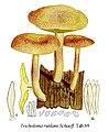 Tricholoma rutilans-Icon-Mycol.-Tab-69.jpg