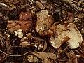 Tricholoma ustale (Haute-Loire, France) 02.jpg