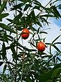 Trichosanthes cucumeroides fruits dangle from Sasa in Mount Takatori Miyaki.jpg