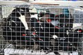 Tricolored Blackbirds in a transport cage (7297783160).jpg