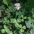 Trifolium repens-Trèfle blanc-Fleur-20180620.jpg