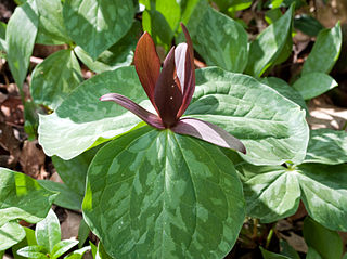 <i>Trillium cuneatum</i> species of plant