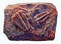 Trilobites - Ptychoparia striata.JPG