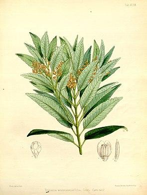 Trimenia weinmanniifolia