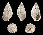 Tritia reticulata fossil 01.jpg