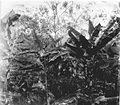Tropenmuseum Royal Tropical Institute Objectnumber 60008976 Jonge cacaobomen, bananenbomen en sch.jpg