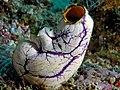 Tunicate komodo.jpg