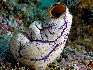 Tunicate Subphylum of chordates (marine invertebrates)