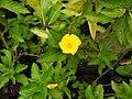 Turnera ulmifolia-5-ladyseatyercaud=-salem-India.jpg