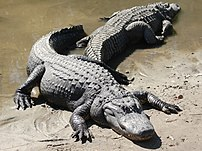 Two American Alligators (Alligator mississippi...