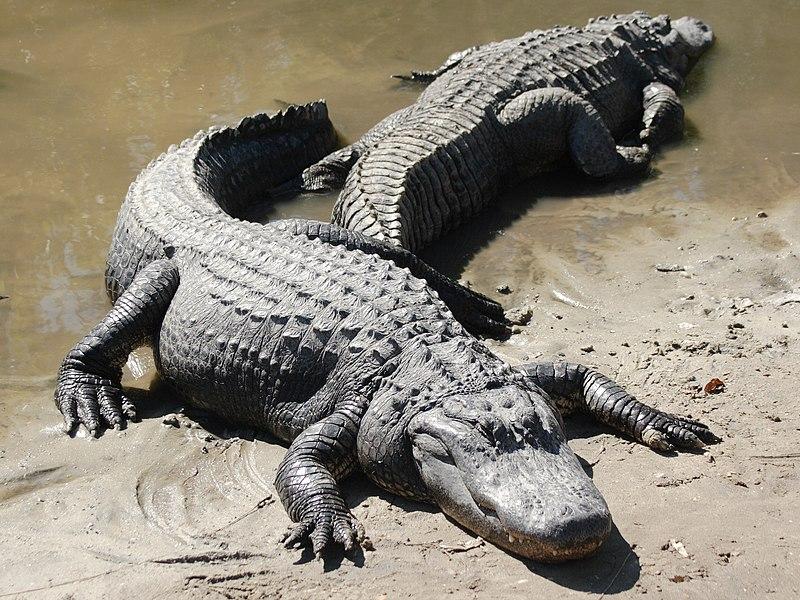 800px Two american alligators