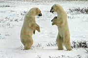 Two polar bears sparring.jpg