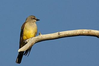 Cassin's kingbird - Image: Tyrannus Vociferans 002