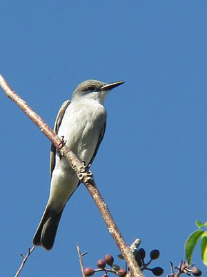 Gray kingbird - Image: Tyrannus dominicensis Dominican Republic 8