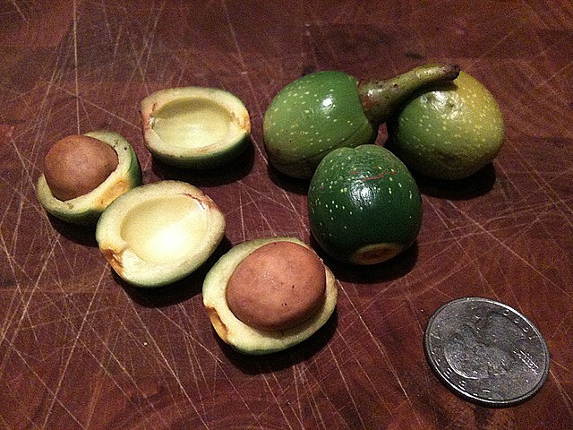 California Bay Laurel fruit, size of a quarter
