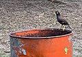 Un oiseau sur un bidon (Flic-en-Flac).jpg