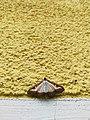 Unidentified-butterfly-20190610-145449.jpg