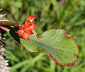 Unidentified flower, Taman Sari, Yogyakarta, 2014-05-19 01.jpg