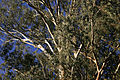 Unknown eucalypt02.jpg